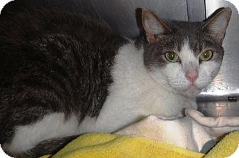 Domestic Shorthair Cat for adoption in Redding, California - Bruce Banner