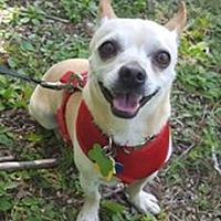 Adopt A Pet :: Chico - Bloomington, IL