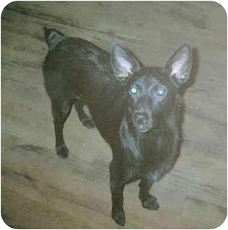 Rat Terrier/Shepherd (Unknown Type) Mix Dog for adoption in Ludowici, Georgia - Canuk