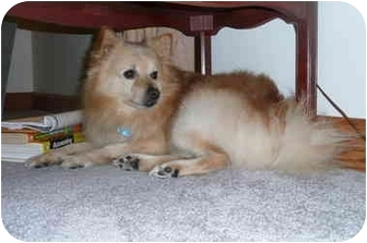 Pomeranian/American Eskimo Dog Mix Dog for adoption in Lovettsville, Virginia - Romeo (aka Harry)