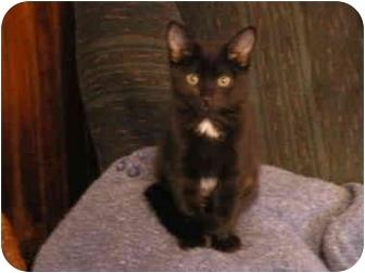 Domestic Shorthair Kitten for adoption in Tillamook, Oregon - Pepper