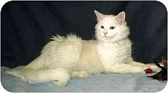 Domestic Longhair Cat for adoption in Powell, Ohio - Charmin