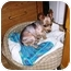 Photo 1 - Yorkie, Yorkshire Terrier Dog for adoption in Long Beach, New York - Spikey