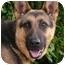Photo 2 - German Shepherd Dog Puppy for adoption in Los Angeles, California - Daisy von Denzinger