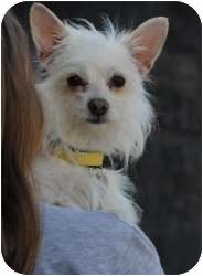 Terrier (Unknown Type, Small) Mix Dog for adoption in North Hollywood, California - Spike