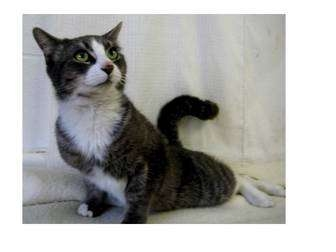 Domestic Shorthair Cat for adoption in North Kingstown, Rhode Island - Waldo