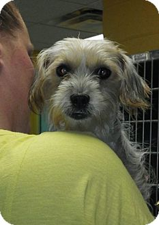 Silky Terrier Mix Dog for adoption in Long Beach, New York - Mellie