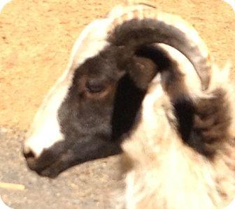 Sheep for adoption in Sac, California - Hercules