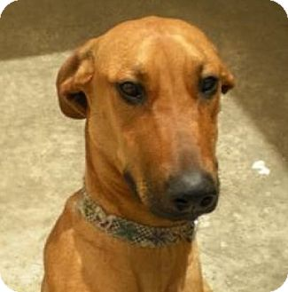 Great Dane/Doberman Pinscher Mix Dog for adoption in Seattle, Washington - Delilah