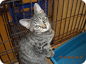 Domestic Shorthair Kitten for adoption in Brownsville, Texas - BUTTONS