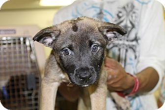 Labrador Retriever/Shepherd (Unknown Type) Mix Puppy for adoption in Waldorf, Maryland - Jazzy