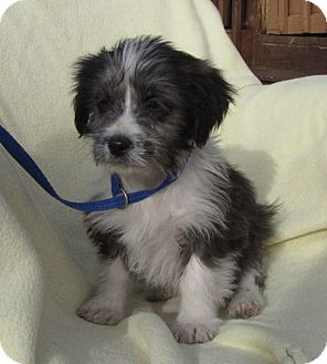 Shih Tzu Mix Puppy for adoption in Oakland, Arkansas - Hoover
