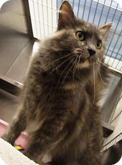 Domestic Longhair Cat for adoption in Kalamazoo, Michigan - Cati