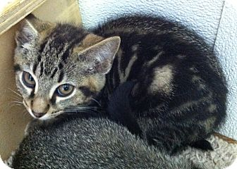 Domestic Shorthair Kitten for adoption in Greensburg, Pennsylvania - Binkley