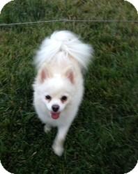Pomeranian Mix Dog for adoption in Calgary, Alberta - Jewel