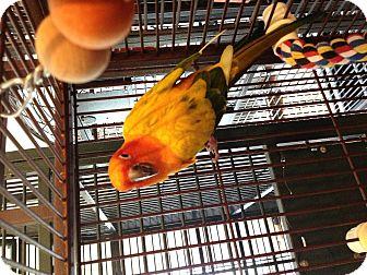 Conure for adoption in Punta Gorda, Florida - Matilda