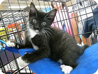 Domestic Shorthair Kitten for adoption in Fort Wayne, Indiana - Priscilla