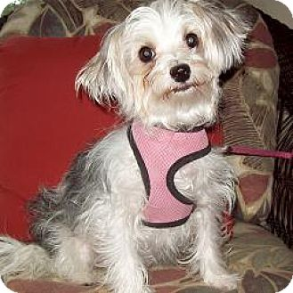 Yorkie, Yorkshire Terrier/Maltese Mix Puppy for adoption in Jacksonville, Florida - Lucy Lu
