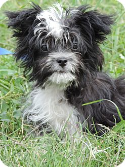 Maltese Mix Puppy for adoption in Anderson, South Carolina - Ted