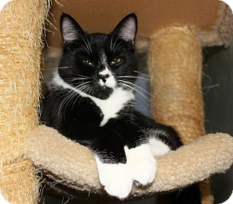 Domestic Shorthair Cat for adoption in Mission, British Columbia - Marko