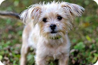 Yorkie, Yorkshire Terrier Mix Puppy for adoption in Salem, New Hampshire - PUPPY RAINBEAU