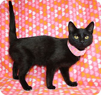 Domestic Shorthair Cat for adoption in Jackson, Michigan - Becky