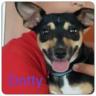Chihuahua/Miniature Pinscher Mix Dog for adoption in Grand Ledge, Michigan - Dotty