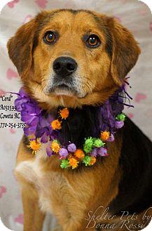 Beagle/Collie Mix Dog for adoption in Newnan City, Georgia - Cord