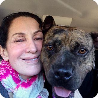 Catahoula Leopard Dog/Boxer Mix Dog for adoption in Chicago, Illinois - Renzo