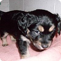 Adopt A Pet :: Baby Sven - Augusta County, VA