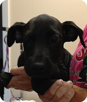 Labrador Retriever/Boxer Mix Puppy for adoption in Bloomington, Illinois - Delta