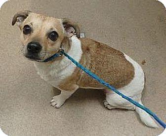 Dachshund Mix Dog for adoption in Las Vegas, Nevada - Tiger
