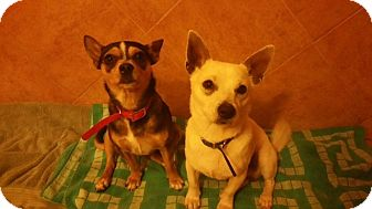Chihuahua Mix Dog for adoption in San Antonio, Texas - Minnie