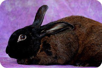 Satin for adoption in Wilmington, North Carolina - Chocolate