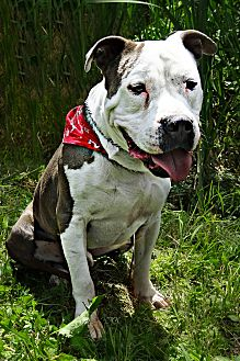 Pit Bull Terrier Mix Dog for adoption in Troutville, Virginia - Sherman