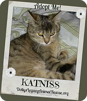 Domestic Shorthair Cat for adoption in Lincoln, Nebraska - KATNISS