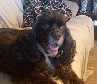 Cocker Spaniel Dog for adoption in Santa Barbara, California - JB