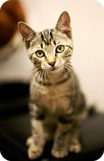 American Shorthair Cat for adoption in Tallahassee, Florida - Piper