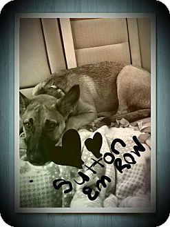 Belgian Malinois Mix Dog for adoption in Huntington, Indiana - Sutton