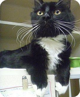 Domestic Mediumhair Cat for adoption in Hamburg, New York - Chevy