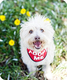 Poodle (Miniature)/Terrier (Unknown Type, Small) Mix Dog for adoption in Van Nuys, California - Moe