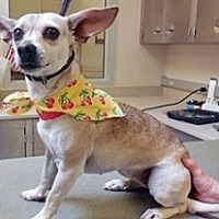 Chihuahua Mix Dog for adoption in Wildomar, California - Honey