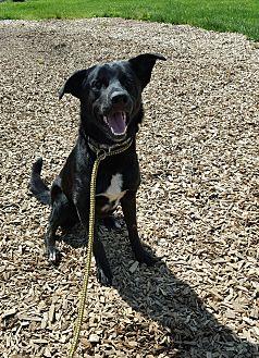 Labrador Retriever/Border Collie Mix Dog for adoption in Hawk Point, Missouri - Jake