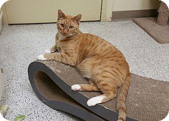 Domestic Shorthair Cat for adoption in Phoenix, Arizona - Riggs