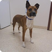 Labrador Retriever/Border Collie Mix Dog for adoption in Carson City, Nevada - CHEW BARKA