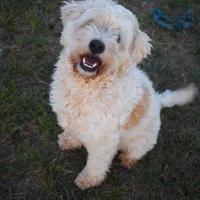Adopt A Pet :: Barkley - justin, TX