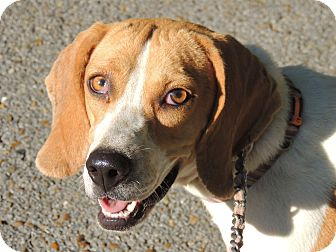 Beagle Dog for adoption in Hagerstown, Maryland - Beulah