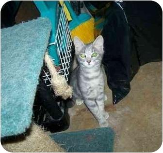 Domestic Mediumhair Cat for adoption in Fort Worth, Texas - Graycie