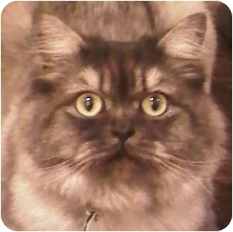 Persian Cat for adoption in Toronto, Ontario - Zippy *declawed*