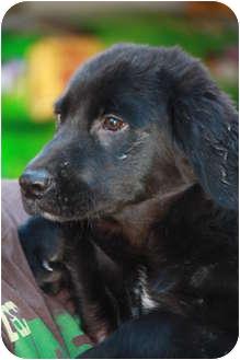 Golden Retriever/Labrador Retriever Mix Puppy for adoption in Prince William County, Virginia - Bentley